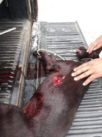 MALDADE HUMANA: Cachorro encontrado ferido por feirantes em Garanhuns, provavelmente foi esfaqueado