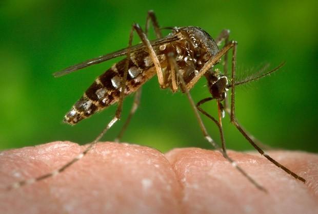 Bactéria pode ser solução contra o zika